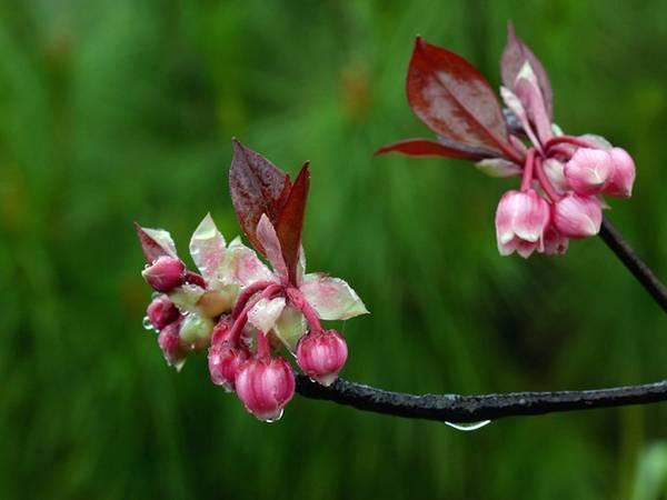 Ngắm những bông đào chuông rung rinh trong gió lạnh, ngỡ như mùa xuân đang hát khúc ca rộn ràng trên những cánh hoa mỏng manh mà mãnh liệt.