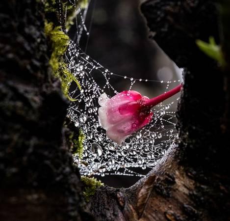 Dù xuất thân ở những vùng rừng nhiệt đới nhưng đào chuông lại sinh trưởng mạnh mẽ trong điều kiện khí hậu và thổ nhưỡng của Bà Nà. Bởi vậy, loài hoa này trở thành biểu trưng độc đáo của khu du lịch.